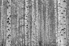 FREE SHIPPING Buy this birch tree wallpaper to sweep you away with majestic black and white birch trees. Feel the serenity (and drama) wall murals add. These wall murals: * Are super high quality with thick, durable paper. No ripping while hanging and you'll have to touch it t
