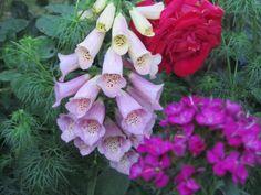Digitale,rose,garofani del poeta