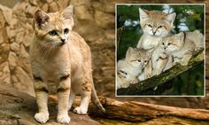 'Peter Pan' sand cats that will always look like kittens