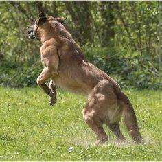 """""""Belgian Malinois   #workingdog #workingdogs #workingbreed #dog #dogs #dogsofig #dogstagram #dogsofinsta #dogsofinstagram #dogs_of_instagram #instadog…"""" Berger Malinois, Belgian Malinois Dog, Military Dogs, Police Dogs, Belgian Shepherd, German Shepherd Dogs, German Shepherds, Pastor Belga Malinois, Real Dog"""