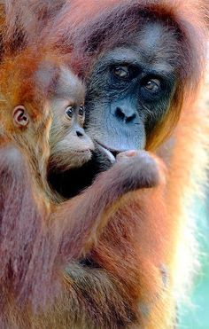 Orang-utans, so beautiful