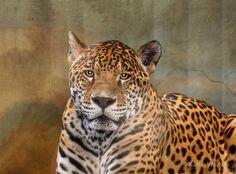 Leopard Stare Down
