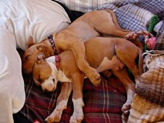 pitbull love   ...........click here to find out more     http://googydog.com