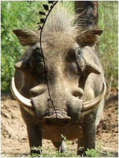 Well firstly its the warthog, which Warthog Inns name was derived from. This animal is an extraordinary creature, they like to play in waterholes and are always dirty.