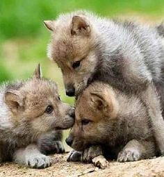 Wolf pups at play. From the early start of life, wolf pups begin to show DOMINANCE. Wolf Love, Beautiful Wolves, Animals Beautiful, Wolf Pictures, Animal Pictures, Cute Baby Animals, Animals And Pets, Strange Animals, Tier Wolf