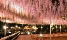 Chandelier of wisteria fromJapan.