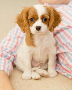 Cavalier King Charles Spaniel is a spaniel type toy dog breed.Cavalier King Charles Spaniels have been the most owned dog breed in United. Best Small Dog Breeds, Best Small Dogs, Cute Small Dogs, Animal Gato, Mundo Animal, Baby Animals, Cute Animals, Spaniel Puppies, Little Doll