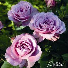 Beetrose 'Lavender Ice', 30 - 40 cm hoch, 50 - 70 cm breit, blüht 6 - 10