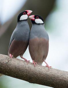 ˚Java Sparrow