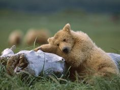 Grizzly Bear (Ursus Arctos Horribilis),  Katmai Nat'l Park, Alaska