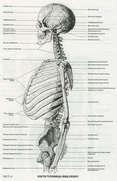 An Atlas for Anatomy for artisti. Human Anatomy Drawing, Human Body Anatomy, Muscle Anatomy, Anatomy Study, Anatomy Reference, Drawing Skills, Life Drawing, Anatomy Bones, Anatomy Images