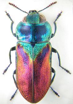 Beetle, Anthaxia bicolor, K.V. Makarov
