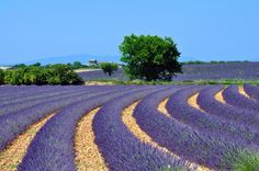 See the Lavender Fields in Provence, France - Bucket List Dream from TripBucket