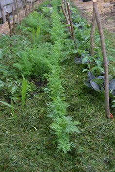 En djup bädd - djupbädd. 70 cm djup, välgödslad, porös jord är vad som fyller mina två djupbäddar. Superskörd av det mesta! Följ Skillnadens Trädgård och läs hur du bygger din egen: hwww.facebook.com/Skillnadenstradgard Farmer's Daughter, Farming, Home And Garden, Gardening, Facebook, Plants, Lawn And Garden, Plant, Planets
