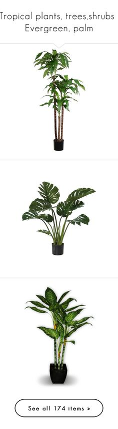 """Tropical plants, trees,shrubs : Evergreen, palm"" by suelb ❤ liked on Polyvore featuring home, home decor, floral decor, plants, silk tree, faux tree, artificial trees home decor, artificial silk trees, green tree and green home decor"