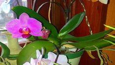 Jednoduchý způsob jak rozkvést orchidej díky 1 ingredienci z Vaší kuchyně! Pokvete jako nikdy předtím!   Vychytávkov Ale, Garden, Flowers, Plants, Garten, Ale Beer, Lawn And Garden, Gardens, Plant