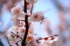 """Known as """"sakura"""" in Japanese, these pale blooms are a symbol of more than just spring—they stand for renewal and hope."""