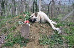Cão inconsolável visita todos os dias o tumulo de seu tutor e choraTodos nós já ouvimos o ditado centenas de vezes: os cães são os melhores amigo do homem.  Às vezes, parece que faltam pala...