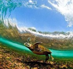 Turtle in the surf #Hawaii