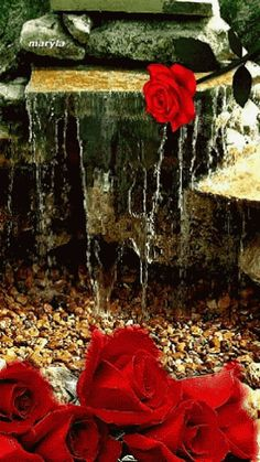 The perfect Red Rose Water Animated GIF for your conversation. Discover and Share the best GIFs on Tenor. Roses Gif, Flowers Gif, Pretty Flowers, Images Gif, Gif Pictures, Free Pictures, Free Images, Beautiful Gif, Beautiful Roses