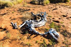 Animal skeleton in the Outback