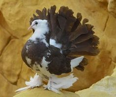 English Fantail pigeons