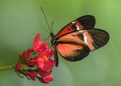 Heliconius Melpomene-Cydno Hybrid Butterfly Nectaring on Peregrina Flower, 'Wings of the Tropics', at the Fairchild Tropical Botanic Garden, FL - Flickr - Photo Sharing!