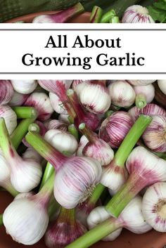 Learn about the different varieties of garlic as well as how to grow, harvest, cure and store it!