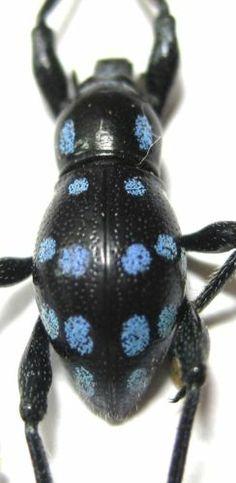 Metapocyrtus Species Lindabonus Male Blue Spots