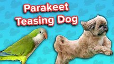Parakeet Torments Dog & Guilty Goldens! // Funny Animal Compilation… #funnypetvideos #funnyanimals