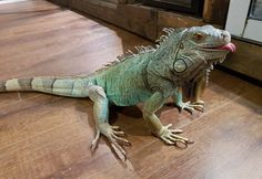 Thinking about getting a pet iguana? Check out this list of pointers created by Ontario Iguanas and ReptiFiles to get you started.