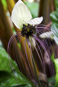 *WHITE BAT FLOWER ~ Tacca integrifolia ... Several species are cultivated as ornamental plants for their bold foliage and large flowers. The well-known T. chantrieri goes by the names of Black Bat Flower, Bat-head Lily, Devil Flower or Cat's Whiskers. Tacca integrifolia is known as the Purple or White Bat Flower.