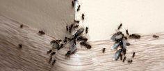 Læs om effektiv husråd og myregift, der hjælper dig i kampen mod myrerne. Vi deler tips om myrebekæmpelse både ude og inde, så du slipper af med myrerne. Moth, Insects, Garden, Tips, Animals, Garten, Animales, Animaux, Lawn And Garden