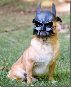 Batpug saves Gotham again! #puginvasion