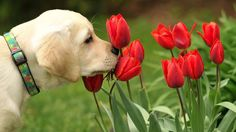 Dog Love Flowers Tulips Red Nature [1280 x 720]