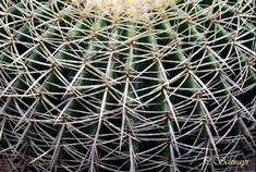 Kaktus aus dem botanischen Garten/Belvedere in Wien. Kreatives by Petra #kaktus #belvedere #wien #botanischergarten #botanik Petra, Outdoor Structures, Pictures, Macro Photography, Botany, Cactus, Canvas, Lawn And Garden