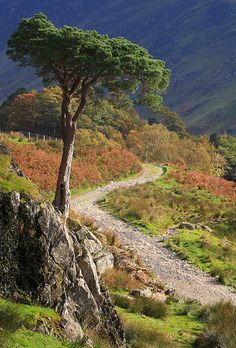 visitheworld: Pine Tree and track, Buttermere, Lake District, England (by timballic).   // ]]]]]]