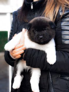 Akita Puppies, Akita Dog, Cute Puppies, Cute Dogs, Cute Baby Animals, Animals And Pets, Funny Animals, Beautiful Dogs, Animals Beautiful