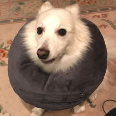 Diy dog cone kadee pinterest dog cone dog and pet stuff great alternative to the cone we used a safety pin to secure a neck pillow solutioingenieria Images