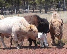 "White buffalo (American Bison) born on Independence Day in ""Bearizona"", a wildli. Large Animals, Animals And Pets, Baby Animals, Cute Animals, Animal Babies, Wild Animals, Buffalo Animal, Buffalo Art, Baby Buffalo"