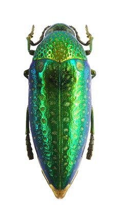 Sternocera multipunctata
