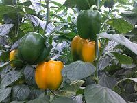 How To Planting and Grow Bell Pepper in Pots