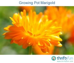 This is a guide about growing pot marigold. These brightly colored, edible flowers are a good addition to your herb garden.