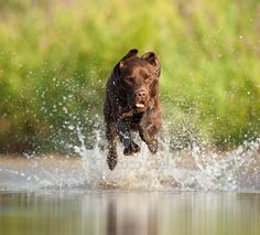 retrieve flying water dogs.... It's a lab thing.