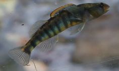 This is actually a beautiful fish that lives only in the Roanoke River in Virginia.  It is called the Roanoke Darter.