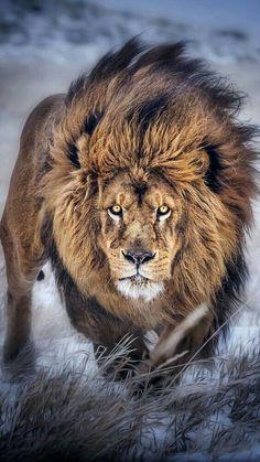 164 Mejores Imágenes De Leones Tiernos Animal Pictures Big Cats Y