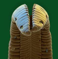 Microscopic shot of a hummingbird's tongue
