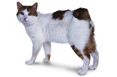 Japanese Bobtail cat--This cute cat has blue eyes and bobbed tail that looks like a rabbit tail. This breed is very common in Japan and Southeast Asia.