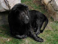 A totally black Lion.  The opposite of albinism is melanism.  The fur and the skin are totally black.