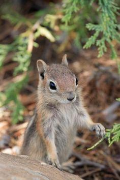 Female squirrel